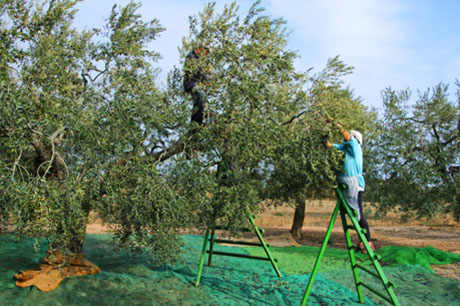 Olive Oil Harvest - Why Pylos Poems