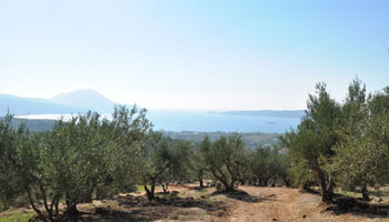 Olive Oil grove - Pylos Poems collection